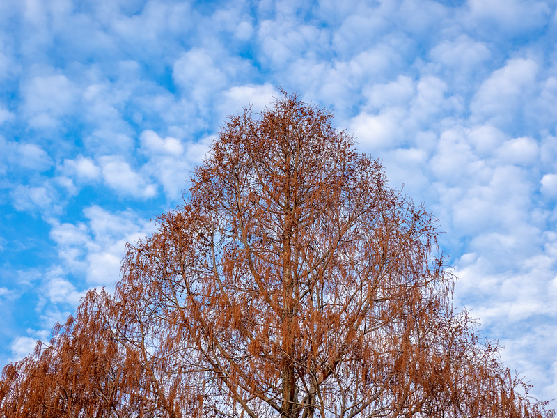 Dawn Redwood in Winter State and Patchy Sky