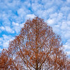 Dawn Redwood in Winter Condition and Patchy Sky