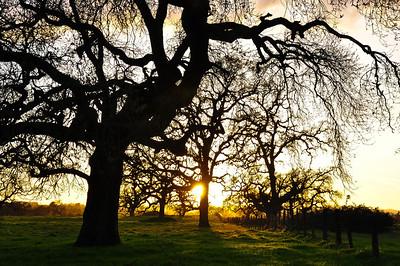 winter-oak-sunset