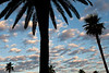 Palm Trees and Early Morning Clouds, Oakland CA