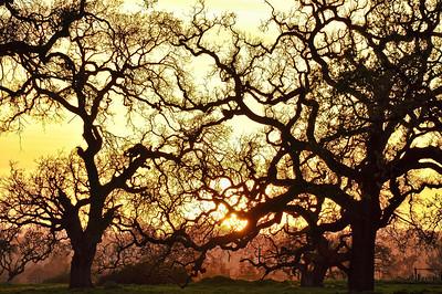 winter-oak-sunset-5