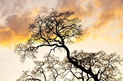 winter-oak-branches