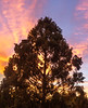 Dawn Redwood and Wildfire-Colored Sky