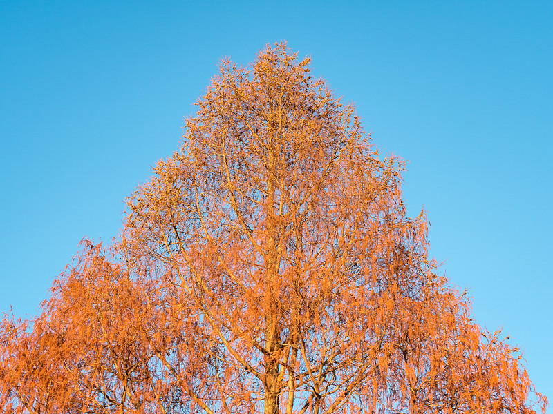 Dawn Redwood, Late Autumn