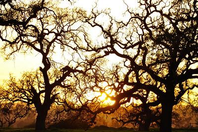 winter-oak-sunset-4