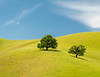 Two Oaks on Rolling Hills Amid Spring-Green Grass