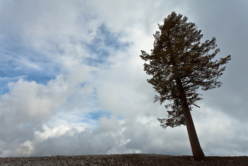 Pine Leaning over the Edge, Near Carson Pass CA