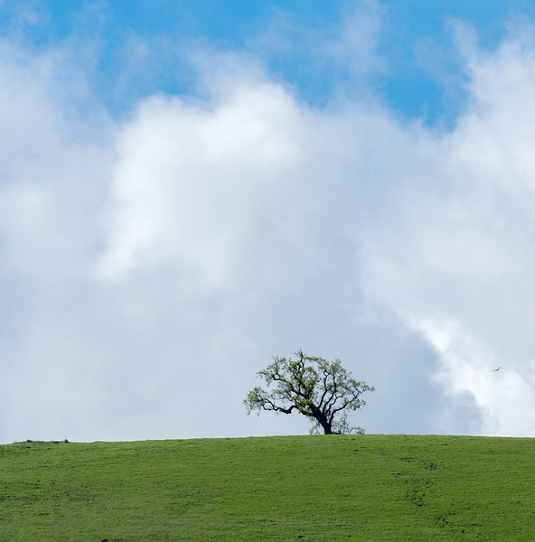 Oak Tree Framed by Clouds