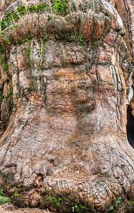 sequoia-trunk-burl