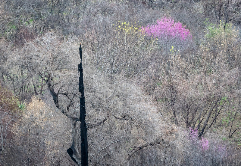 Dead Snag from Paradise Fire and Blossoming Western Redbud