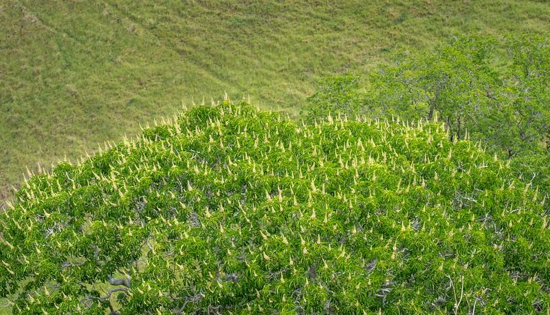 Flowering Buckeye (?) Tree From Above