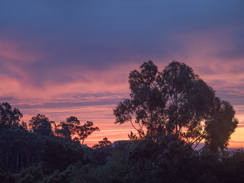 Eucalyptus and Other Trees at Sunrise