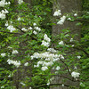Halesia  tetraptera, silverbell, spring blooms