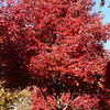 Acer saccharum, sugar maple