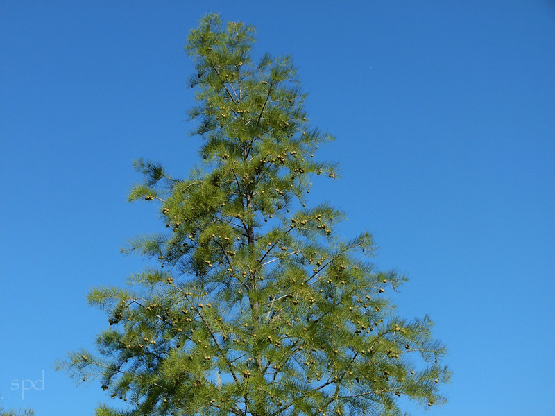 Taxodium distichum, bald cypress