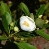 Magnolia virginiana, sweetbay magnolia