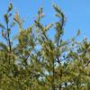 Pinus virginiana, Virginia pine