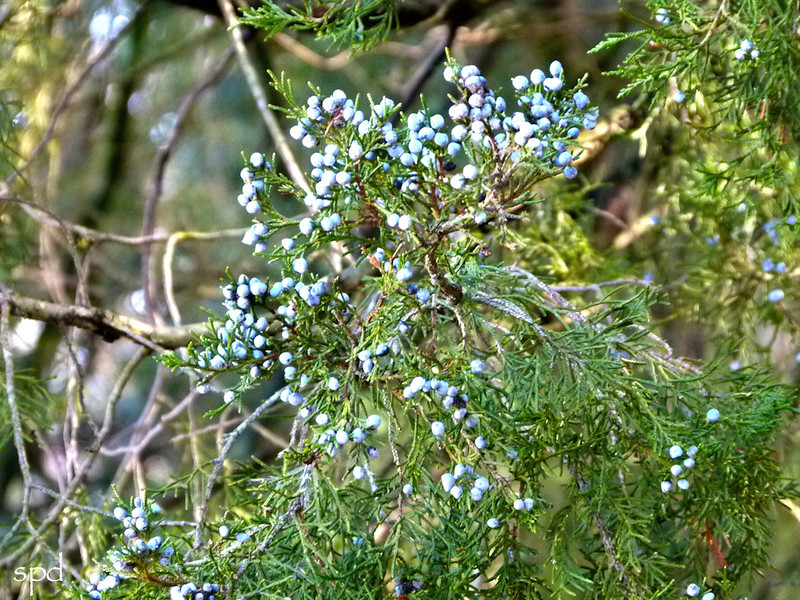 Juniperus virginiana, eastern red cedar