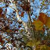 Platanus occidentalis, sycamore