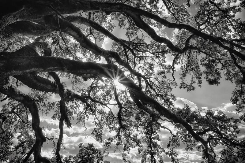 Sunstar through the old oak.