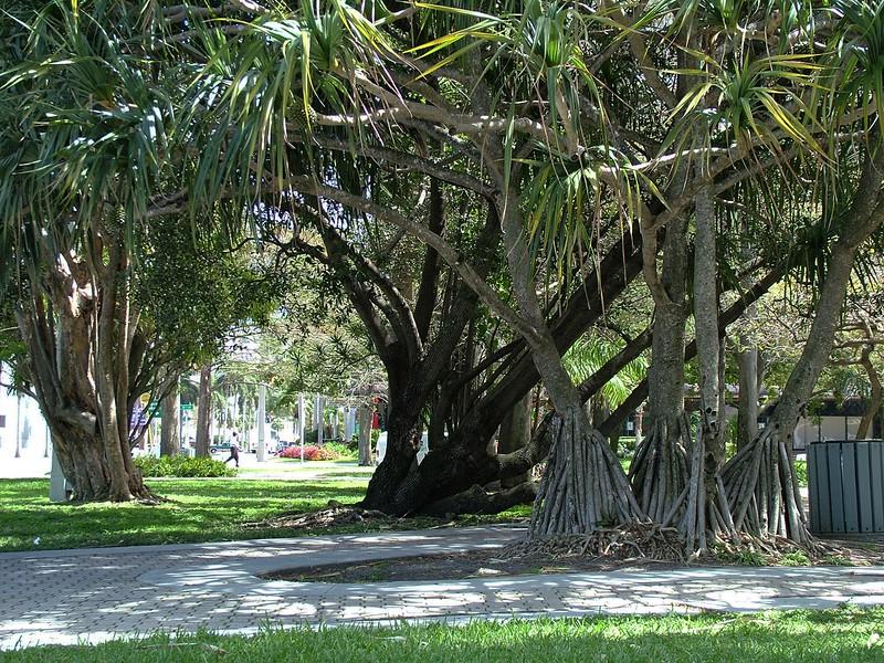 Banyan Trees  ~  Florida