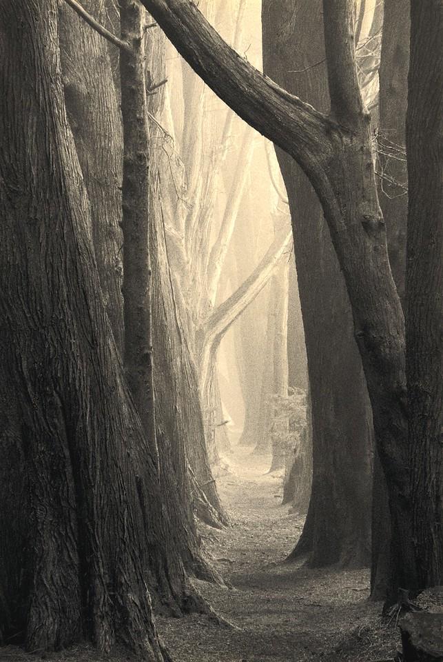 Moonraker Hedgerow, Study 2, Sea Ranch, California