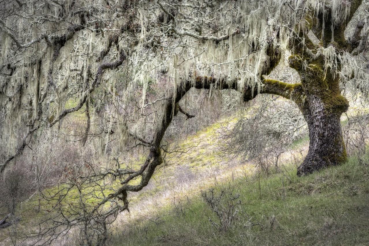 Lichen Draped Oak, Sonoma Valley, California