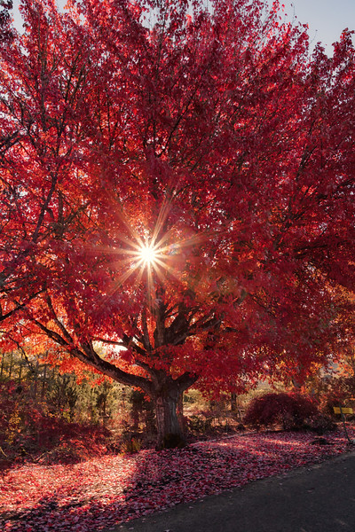 Blazing Autumn (vertical)