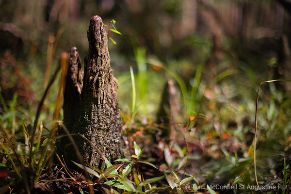Cypress Knees, St. Johns River, St. Johns County, Florida