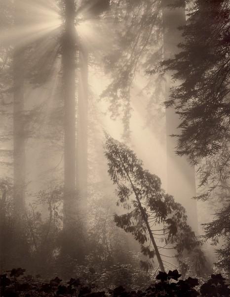 Del Norte Redwoods, California