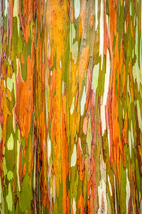 Rainbow Eucalyptus Tree, Study 2 , Maui, Hawaii