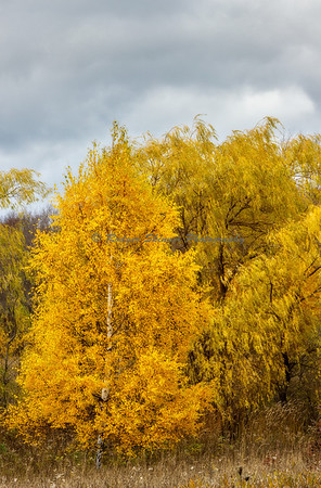 Birch And Willow Trees