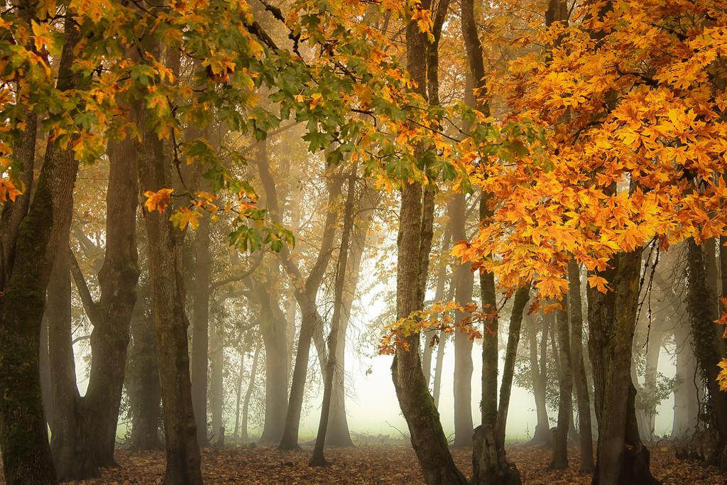 Fog through the trees