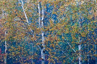 Fall birch trees.