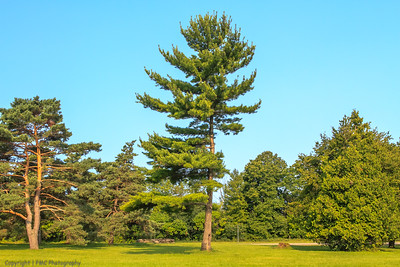 White pine, Long-Sault Pkwy
