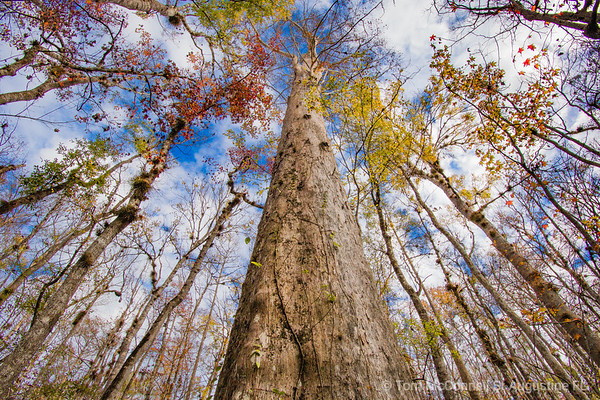 Bald Cypress, St. Johns River, St. Johns County, Florida