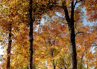 Hard Maple, Algonquin Colours