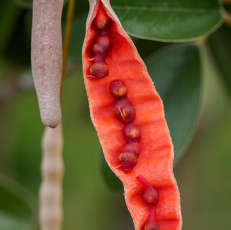jamaica caper seed pods