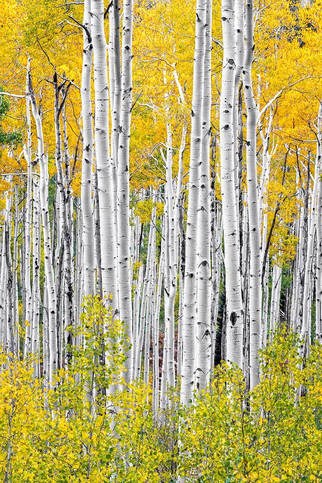 Aspens, Study 4, Colorado