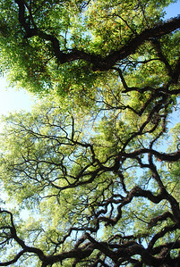 Live Oak Hanging