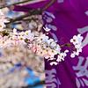 Tokyo Cherry Blossom season: Sakura