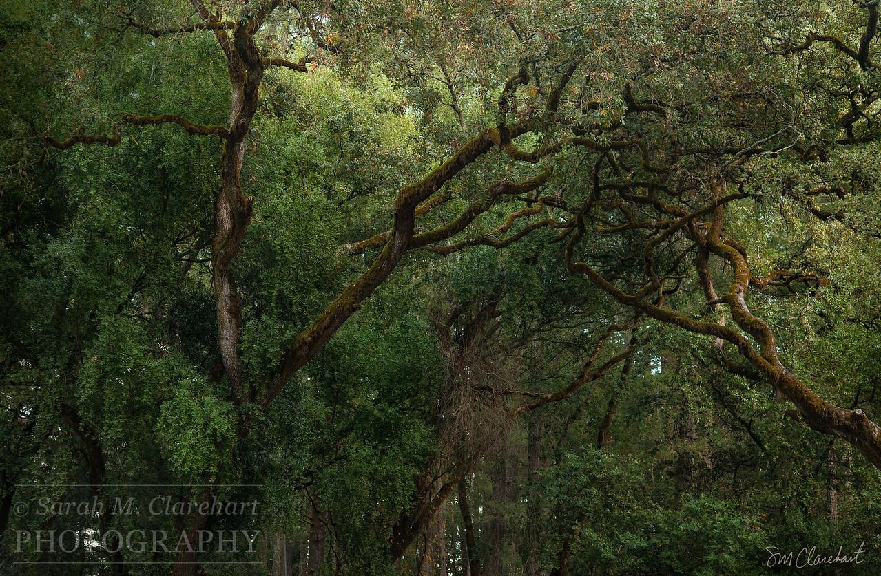 Annadel Trees