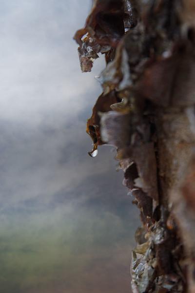Birch drop