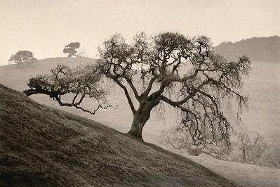Sonoma Oak, Petaluma, California