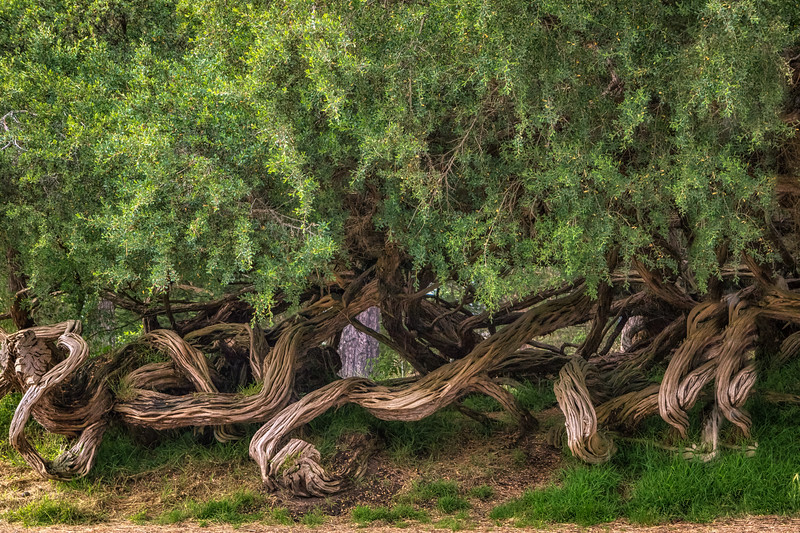 The Twisted Tea Trees.