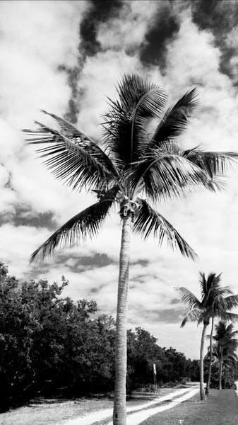 Palms IV