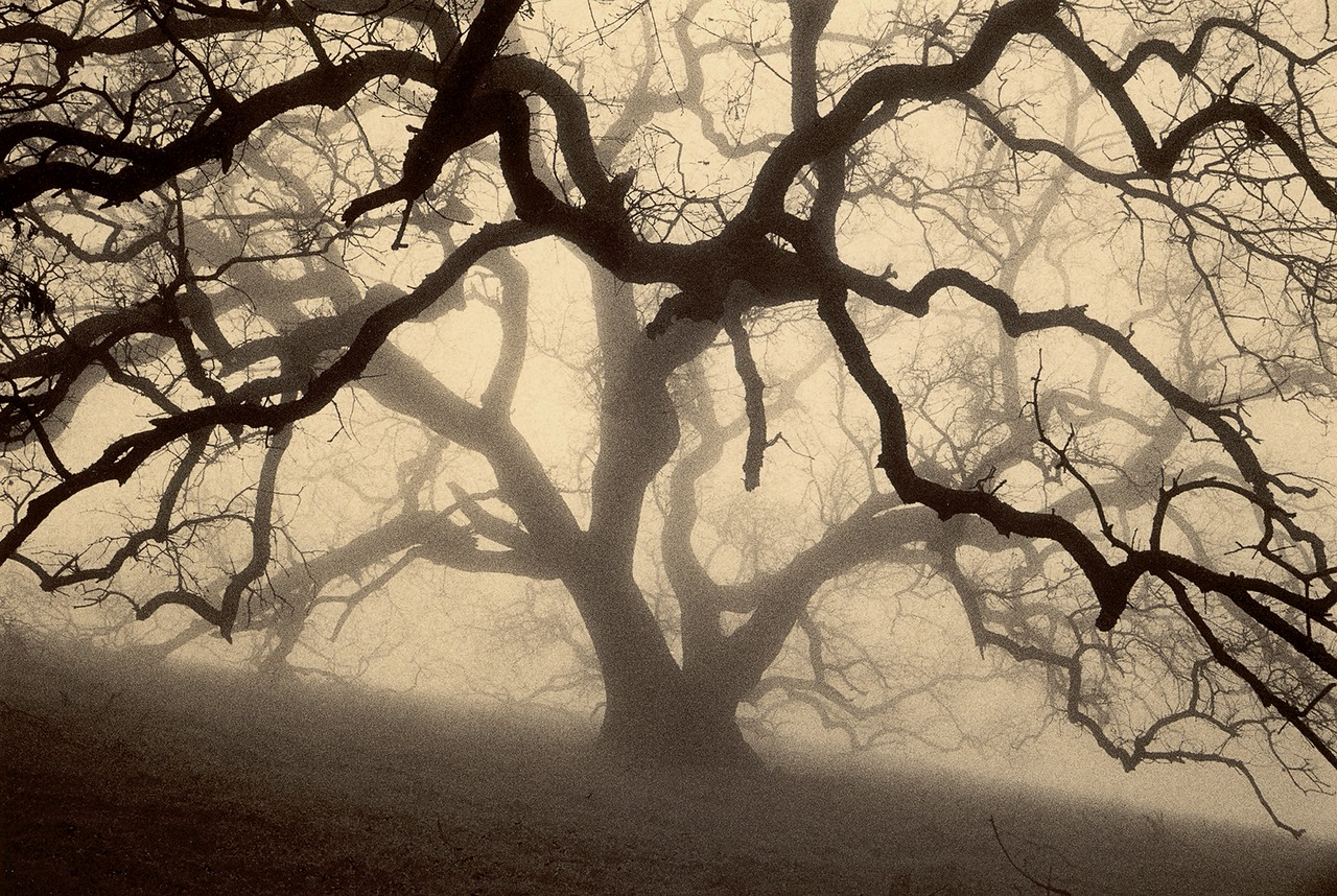 The Grand Oak, Sunol, California