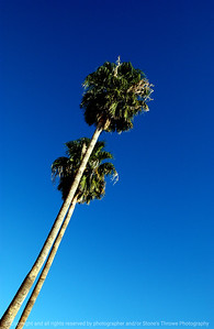 015-palm_trees-tucson_az-06dec06-c2-0154