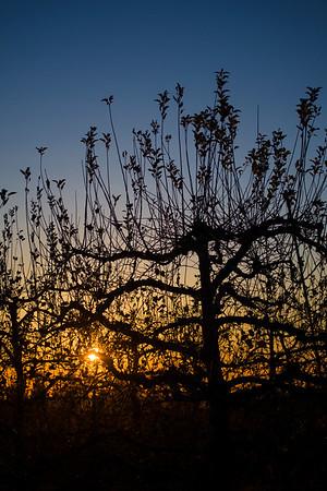 Sunset On Apple Trees
