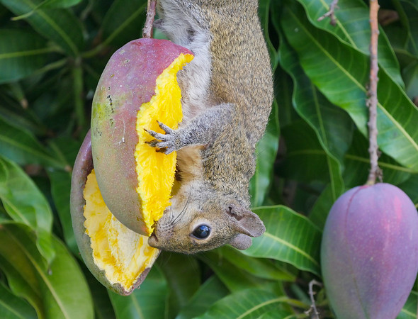 squirrel eating mango